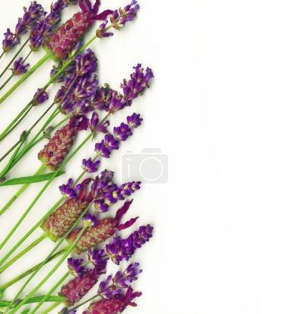 Photo pour Bordure d'herbes sur blanc, y compris le romarin, la menthe et la lavande . - image libre de droit