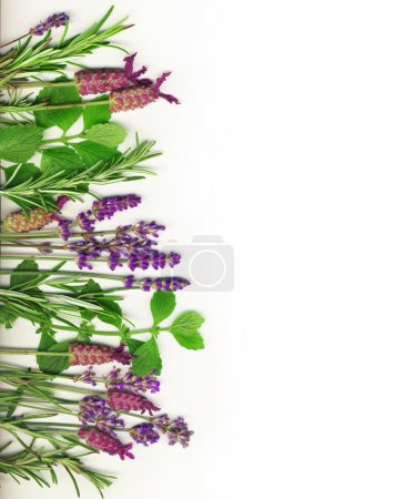 Photo for Herb border on white, including rosemary, mint and lavender. - Royalty Free Image