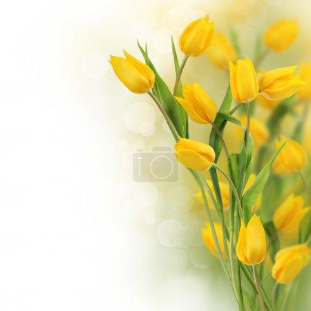 Photo pour Bordure design de tulipes jaunes avec espace de copie - image libre de droit