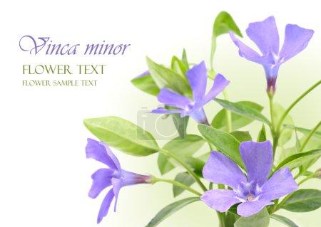Vinca minor flowers design border