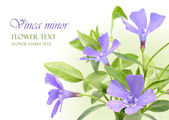 Vinca minor flowers design border
