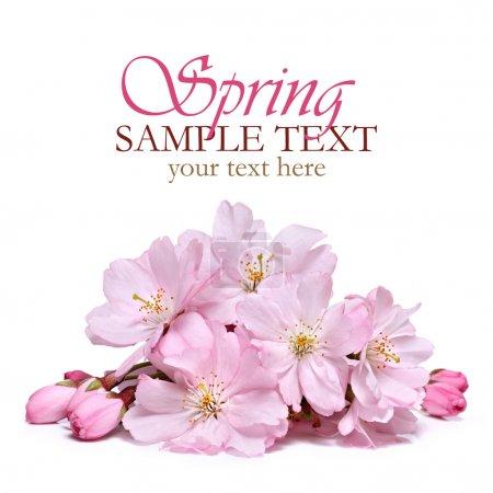 Foto de Flores de Primavera rosa sobre un fondo blanco - Imagen libre de derechos
