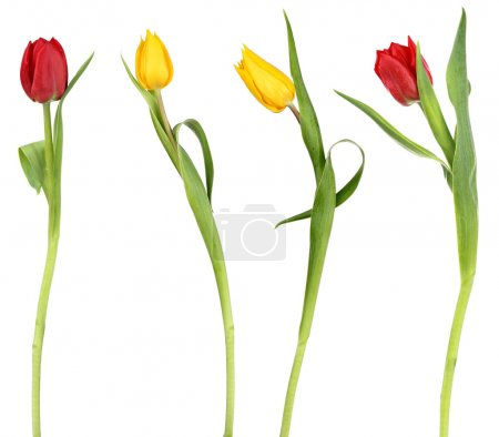 Photo for Four elegant tulip flowers, isolated on a white background - Royalty Free Image