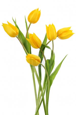 Photo for Yellow tulips on white background - Royalty Free Image