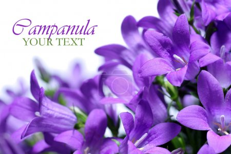 Campanula spring flowers border with copy space...
