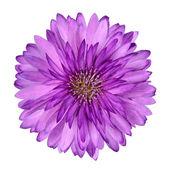 Cornflower like Pink Purple Flower Isolated
