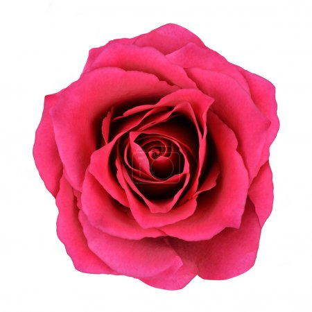 Red Rose Flower Isolated on White Background. Top ...