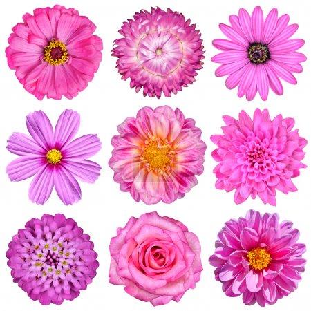 Photo pour Sélection de fleurs blancs rose isolé sur blanc. neuf fleurs - daisy, hélichryse, zinnia, cosmea, chrysanthème, iberis, rose, dahlia - image libre de droit