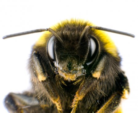 Photo for Ultra Macro of Bumblebee Head with Antennas Isolated on White Background - Royalty Free Image