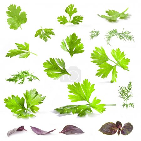 Photo for Coriander, parsley, dill and basil leaves isolated on white background - closeup. - Royalty Free Image