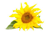 Sunflower with green leaves isolated over white background