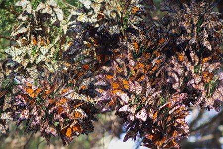 Монархи-бабочки