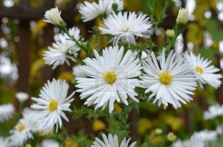 Flowers shrubby asters - Dumosus.