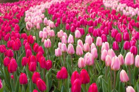 Photo pour Tulipes rouges et roses dans le Keukenhof, Pays-Bas - image libre de droit