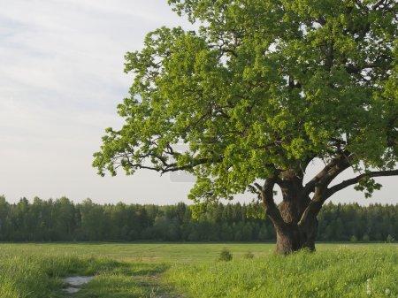 Green krone of a sprawling old oak tree.