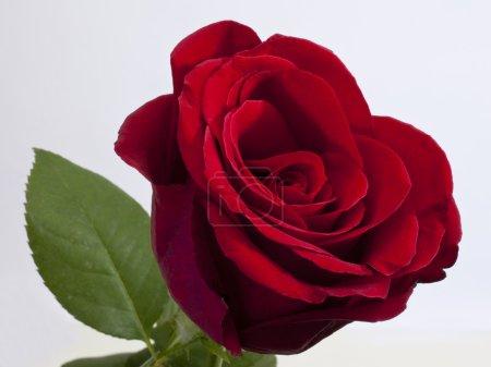 Photo pour Unique rose rouge avec feuille verte sur fond blanc - image libre de droit