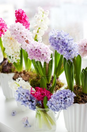 Hyacinths on a window sill