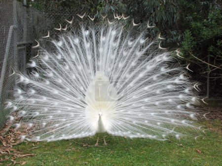 Photo for White peacock displaying his feathers - Royalty Free Image