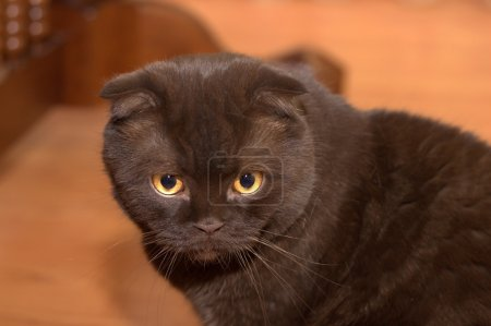 Foto de Scottish fold de color chocolate - Imagen libre de derechos