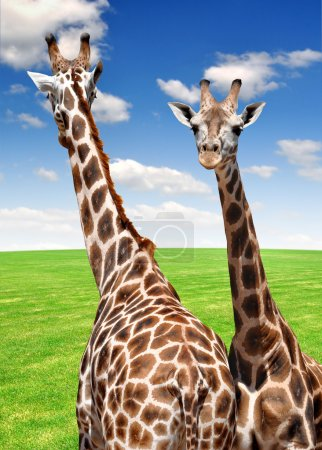 Photo pour Deux girafes sur prairie avec ciel bleu - image libre de droit