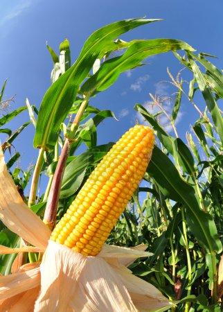 Foto de Campo de maíz con cielo azul - Imagen libre de derechos