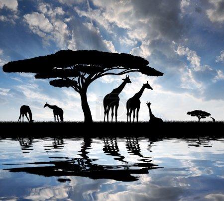 Photo pour Girafe au lever du soleil - image libre de droit