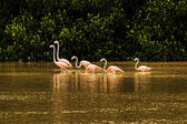 Red flamingos in bays of Celestun city