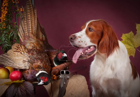 Photo for Working dog resting after the hunt beside a shotgun and several hung pheasant and woodcock, studio, horizontal - Royalty Free Image