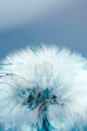 Photo pour Boule de graines de pissenlit - image libre de droit