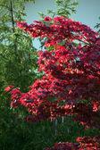 Japanese maple tree, Acer palmatum