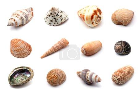 Seashells over white