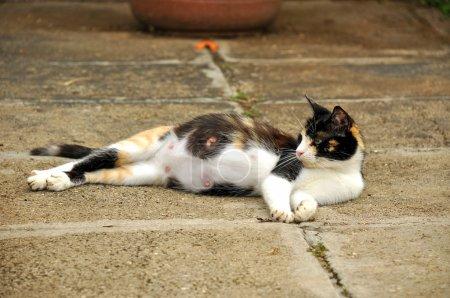 Photo pour Femme enceinte chat étendu sur le sol. elle a accouché le lendemain. - image libre de droit