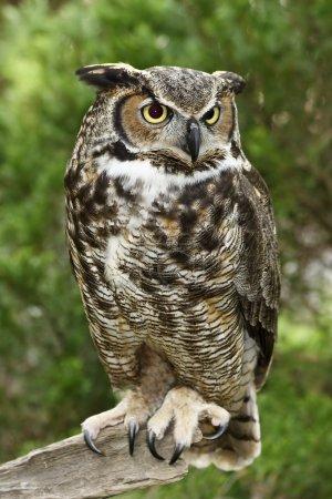 Great Horned Owl Full View