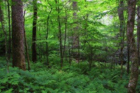 Photo pour Une forêt enchantée en été, douce fini, avec des fougères - image libre de droit