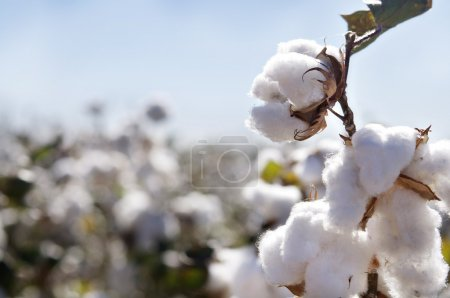 Close up of Ripe cotton bolls on branch