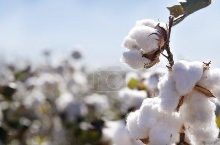 Ripe cotton bolls on branch