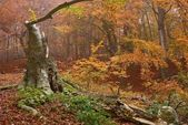 Old beech in a wet misty forest