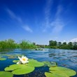 Summer river with lilies...
