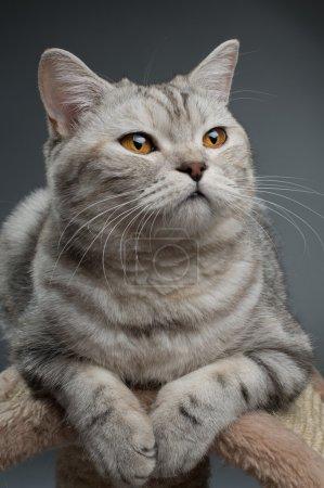 Photo pour Gris pelucheux beau chat adulte, race écossaise droite, portrait rapproché sur fond sombre - image libre de droit