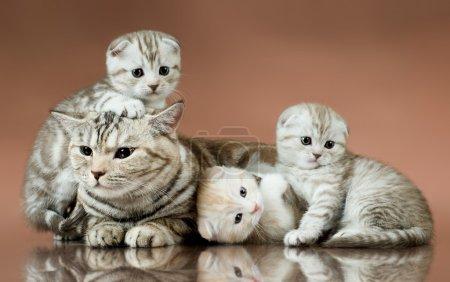 Foto de Grupo familiar de cuatro gatito hermoso esponjoso con madre, raza scottish-fold, mentir sobre fondo marrón - Imagen libre de derechos