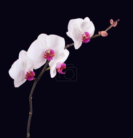 Photo pour Orchidée sur fond noir - image libre de droit