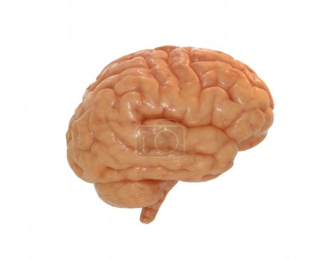 Human brain with alpha mask