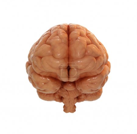 Photo for 3d scientific illustration of a brain on white background - Royalty Free Image
