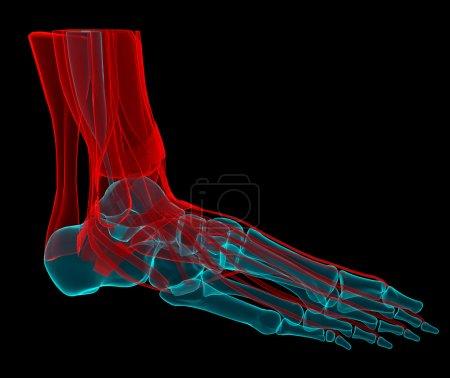 Photo pour 3D illustration d'un pied avec les os et les tendons - image libre de droit