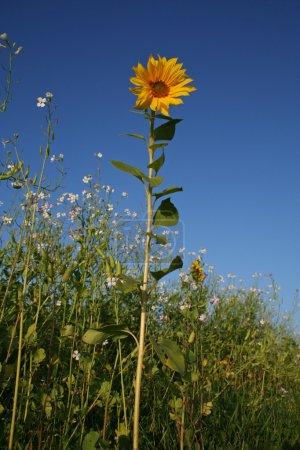 Portrait format of sunflower on blue sky