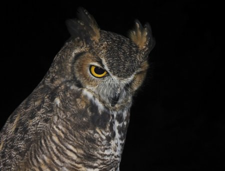 A Great Horned Owl Against a Black Background