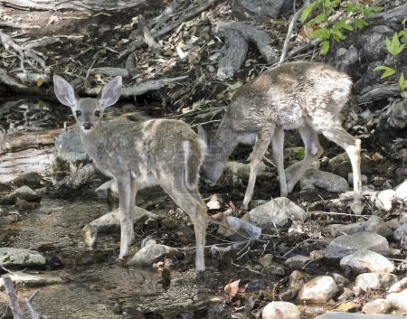 A Pair of Deer Fawns Drink from a Creek in the For...