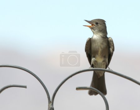 Photo for A Western Wood-Pewee Perched on a Wrought Iron Scroll - Royalty Free Image
