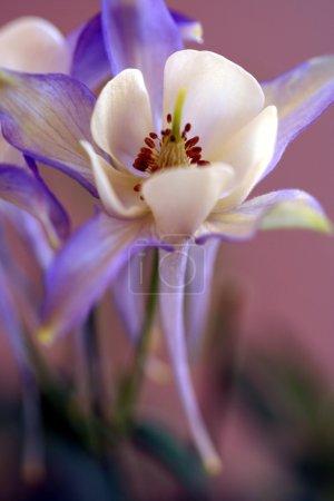 Blue Columbine, Aquilegia coerulea, in the Butterc...