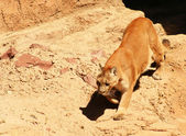Mountain Lion, Felis concolor, is the largest cat to inhabit the rugged mou